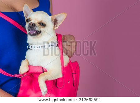Pet companion friend friendship. Chihuahua dog smiling in pink bag. Protection alertness bravery. Puppy face with happy smile on violet background. Devotion and constancy concept copy space