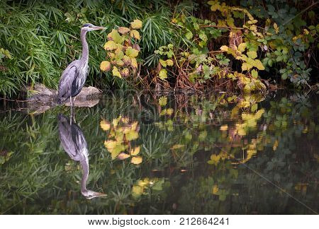 Great Blue Heron in Pond. A Great Blue Heron reflected in a pond. Richmond, British Columbia, Canada.