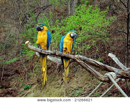 Two colourful parrots