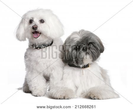couple of a Shih Tzu and a maltese dog in front of a white background