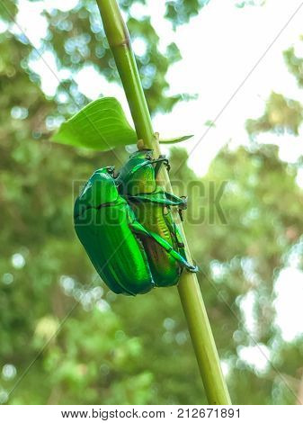 Image of mating insect on green leaf in the forest