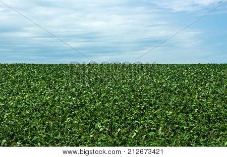 Photo shows a Soybean Field in summer