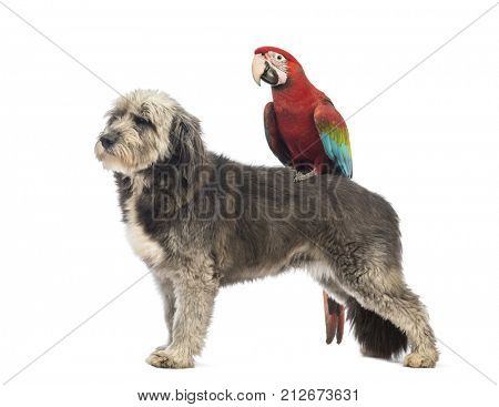 Crossbreed, 4 years old, standing with a Green-winged Macaw, Ara chloropterus, 1 year old, standing on its back in front of white background