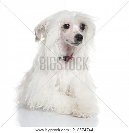Chinese Crested Dog - Powderpuff (5 months) in front of a white background