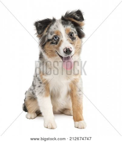 Puppy australian shepherd panting(5 months) in front of a white background