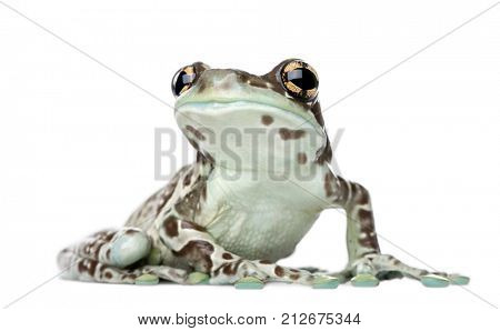 Amazon Milk Frog, Trachycephalus resinifictrix, in front of white background, studio shot