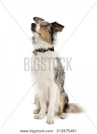 Border Collie looking up, 2 years old, sitting in front of white background, studio shot