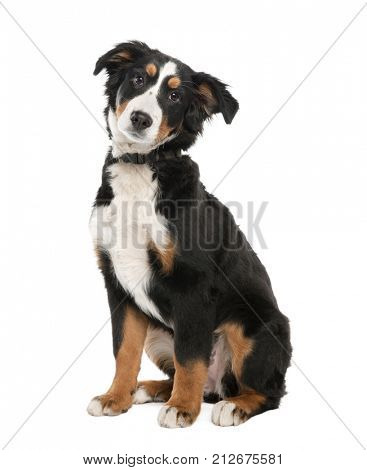 Bernese mountain dog puppy (18 weeks old) in front of a white background