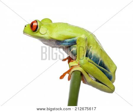 Red-eyed Tree Frog perched on grass, Agalychnis callidryas, in front of white background, studio shot
