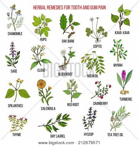 Best herbal remedies for tooth and gum pain. Hand drawn vector set of medicinal plants