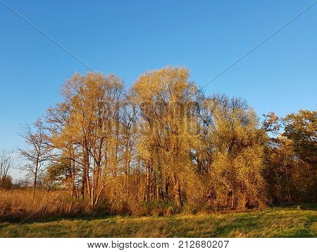 Willows in an autumnal riparian forest at sunset