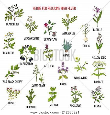 Best herbal remedies for reducing high fever. Hand drawn vector set of medicinal plants