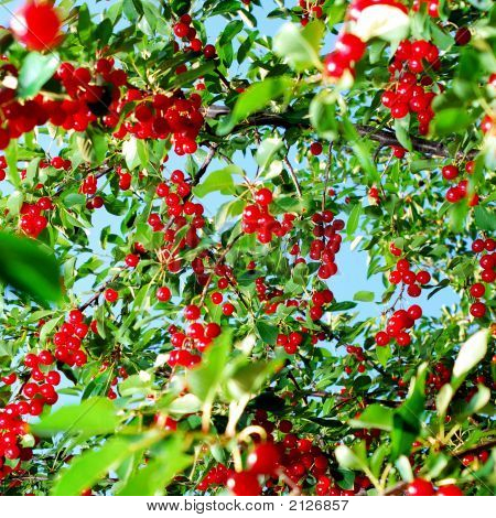 Red Cherry Fruit On Tree