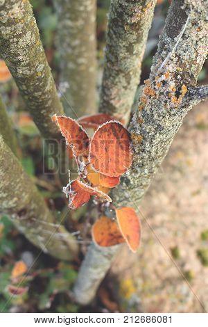 Hoar frost on leaves of amelanchier tree
