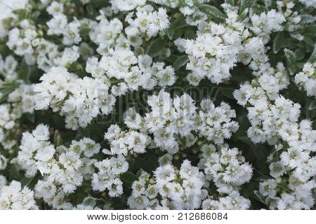 Blossom sweet lobularia covered with first hoar frost