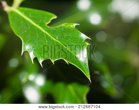 Ever Green Spiky Leaf Close Up Lush Foliage Tree