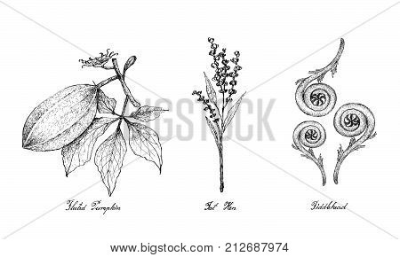 Hand Drawn Sketch Delicious Fresh Green Fluted Pumpkin, Fat Hen and Fiddlehead Isolated on White Background.