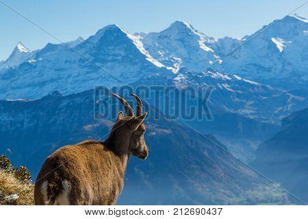 Natural Female Alpine Ibex Capricorn Looking At Eiger, Monch, Jungfrau In Bernese Alps