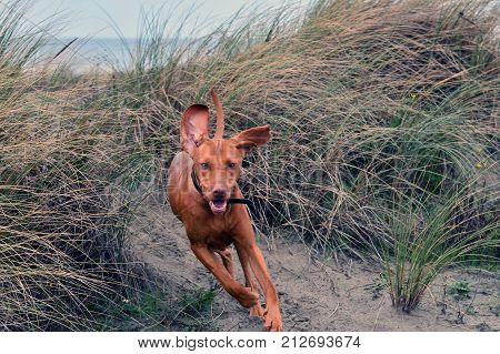 A big brown dog pops out of the bushes in full focus. It looks like it pops right out of the image towards the watcher. The dog has its ears straight up and looks into the camera as if it were its pray. The blurry background shows the sea and a blue sky.