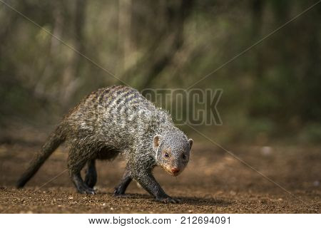 Banded mongoose in Kruger national park, South Africa ; Specie Mungos mungo family of Herpestidae