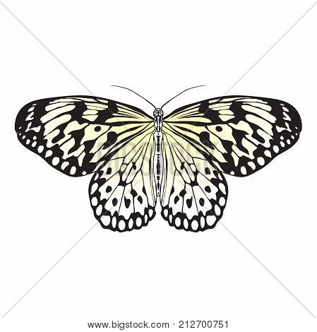 Butterfly Idea Leuconoe. Sketch of Butterfly. Butterfly isolated on white background. Butterfly Design for coloring book. hand-drawn Butterfly. Hand drawn Vector illustration