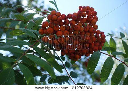 Fruits Of Sorbus Aucuparia Against The Sky