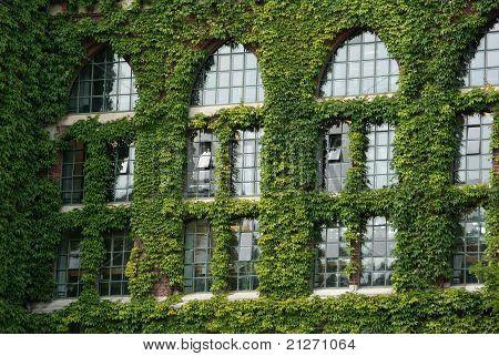 Ivy around windows
