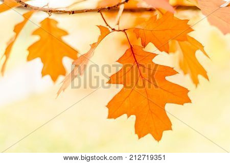 oak leaves isolated on white background, selective focus