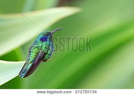 Green Violetear Hummingbird perched on branch in Costa Rica