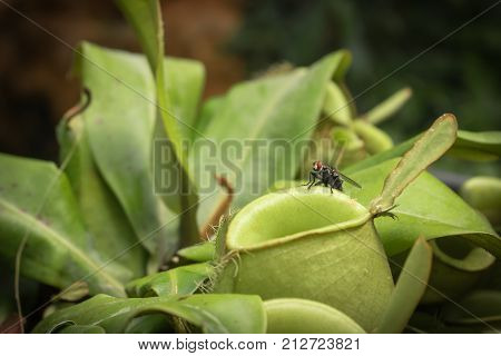 Close up fly on pitcher plant or Nepenthes ampullaria or monkey cup.