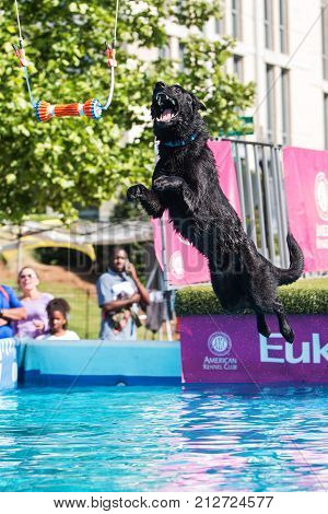 SUWANEE, GA - MAY 2017: A dog leaps off of a dock to try and grab a dog toy suspended over a pool of water at the Woofstock dog festival in Suwanee GA on May 6 2017.