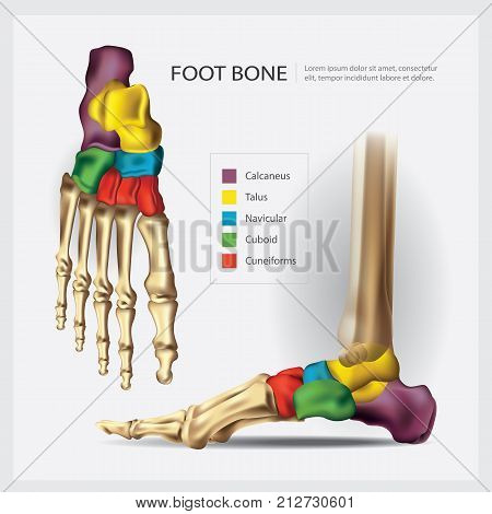 Human Anatomy Foot Bone System Vector Illustration
