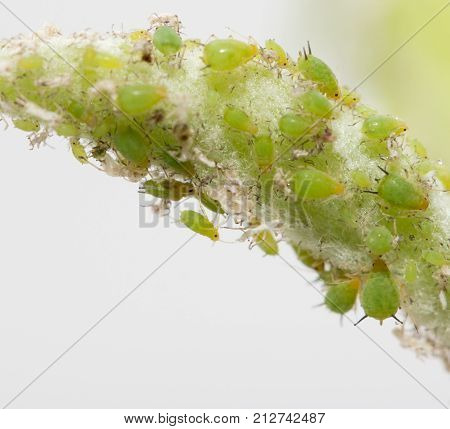 aphids on a green leaf. macro . In the park in nature