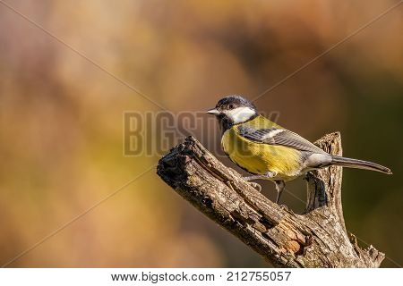 Single Colorful Great-tit Songbird Perched On Dry Twig