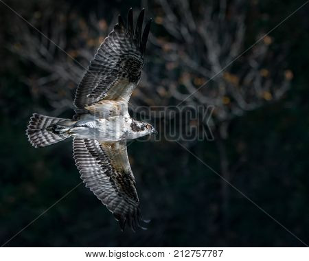 Osprey in Flight in Front of Blurred Trees
