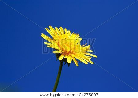 Foto Of Dandelion Head On Blue Sky