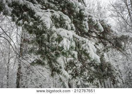 Branch Of Pine Lavishly Covered With Fluffy Snow