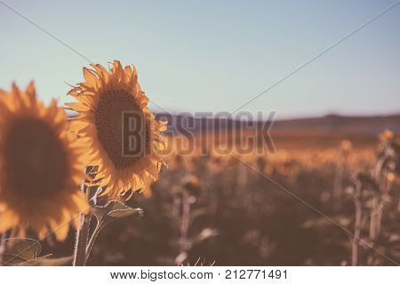 Vintage sunflowers texture and background for designers. Sunflowers field background in vintage style. Macro view of sunflower in bloom. Organic and natural flower background. Vintage sunflower.