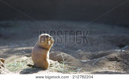A North American Prairie Dog sitting and eating in the sun.