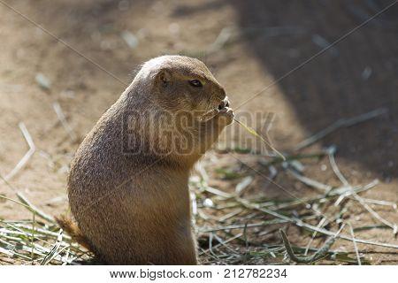A North American Prairie Dog eating grass hay.