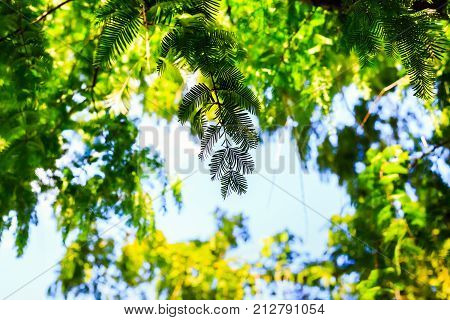 Silhouette tropical plants on blue sky, green leaves of fern in tropics. Natural background forest. Concept summer and holiday. Floral design foliage.