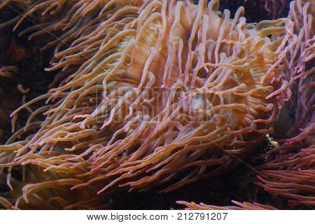 Sea anemones are a group of marine, predatory animals of the order Actiniaria.