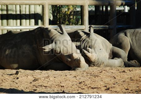 Captive rhinos caught napping at a zoo. Diceros bicornis, endangered species.