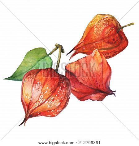 Physalis fruit berry (winter cherry, groundcherries, Cape gooseberry, poha berry, golden berries ). Red dry physalis lanterns. Watercolor hand drawn painting illustration isolated on white background.