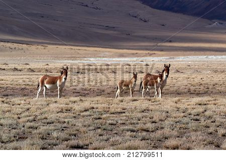 Wild alpine donkeys: a family of animals, two adults and two babies quietly walking along the high mountains pasture, the Himalayas, Tibet.