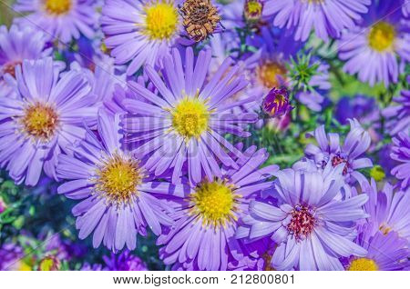 Bushes Blooming Asters