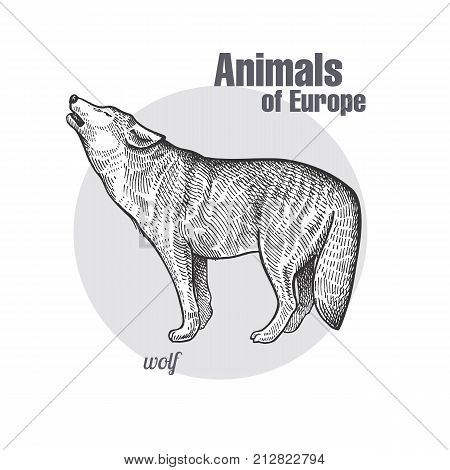 Wolf hand drawing. Animals of Europe series. Vintage engraving style. Vector art illustration. Black graphic isolate on white background. The object of a naturalistic sketch. Object of wildlife.