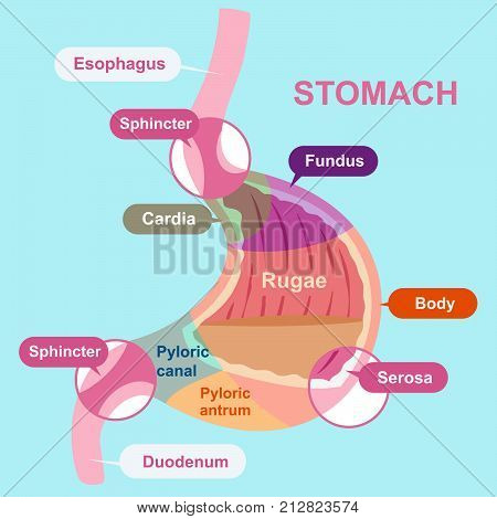 cartoon stomach structure on the blue background