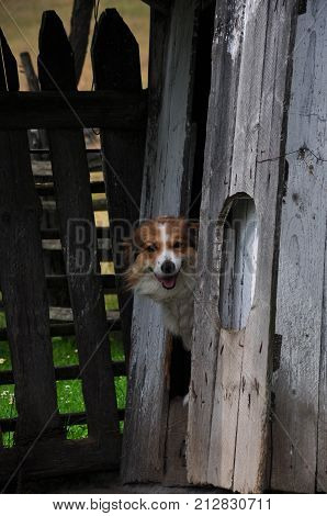 Happy yard dog looking outside from an improvised shelter in a wooden shack