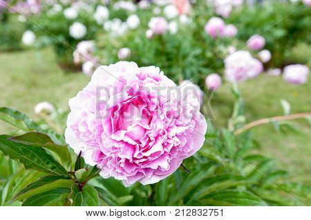 Beautiful pink color Minuet Paeoni peony blossoming flowers in garden. Horizontal Outdoors summertime vibrant image.